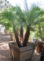 San Diego Palm Trees Twin Oaks Ranch San Marcos